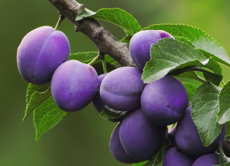 Plums on the Tree stock photography