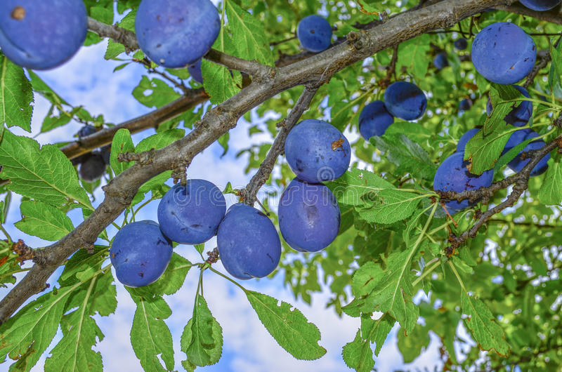 Plums on tree - Plum fruit. Plums belong to the Prunus genus of plants and are relatives of the peach, nectarine and almond. They are all considered `drupes,` stock images