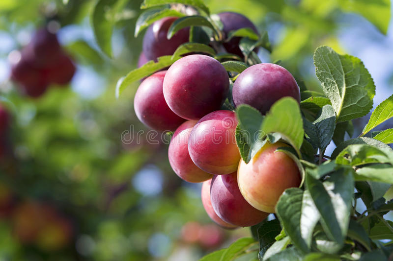 Plums on the tree. Red ripe plums on the tree stock images