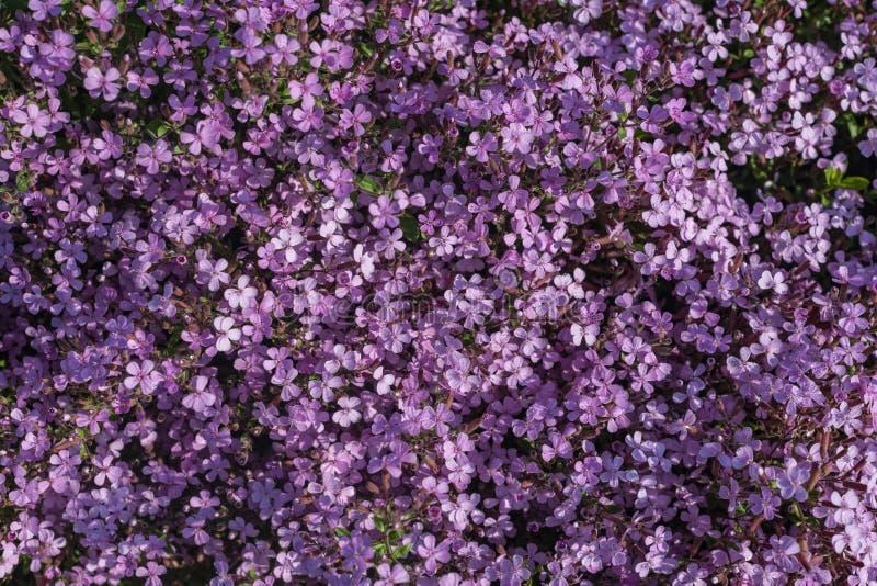 pluriannuels Fleurs de jardin photographie stock