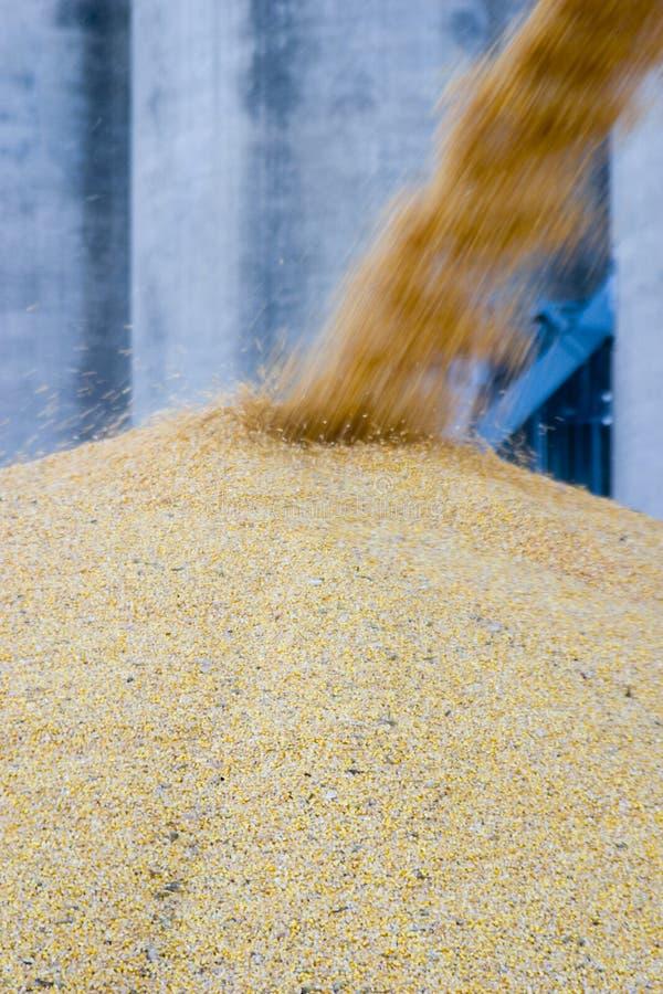Plus de maïs photo libre de droits