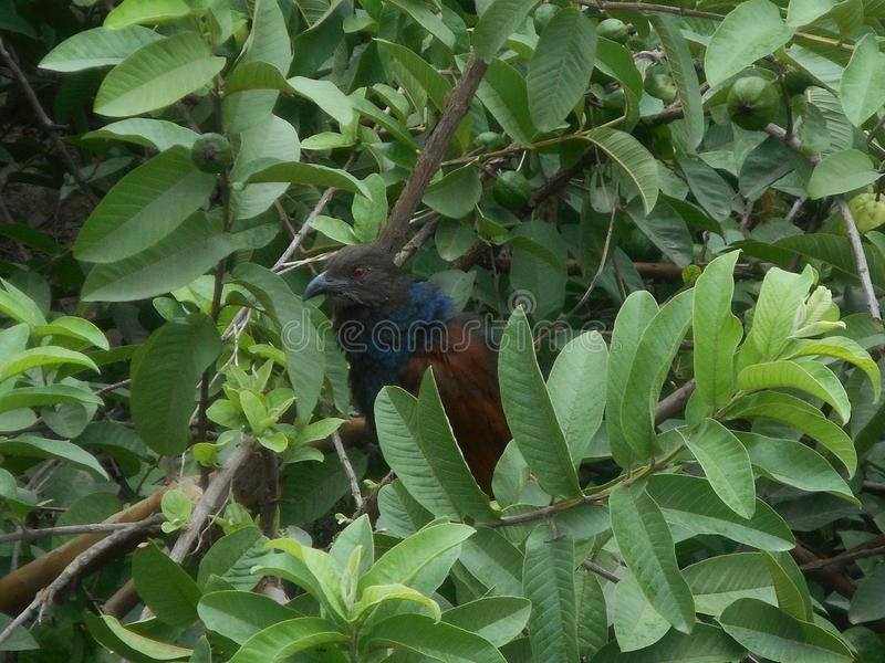 Plus grand coucal images stock
