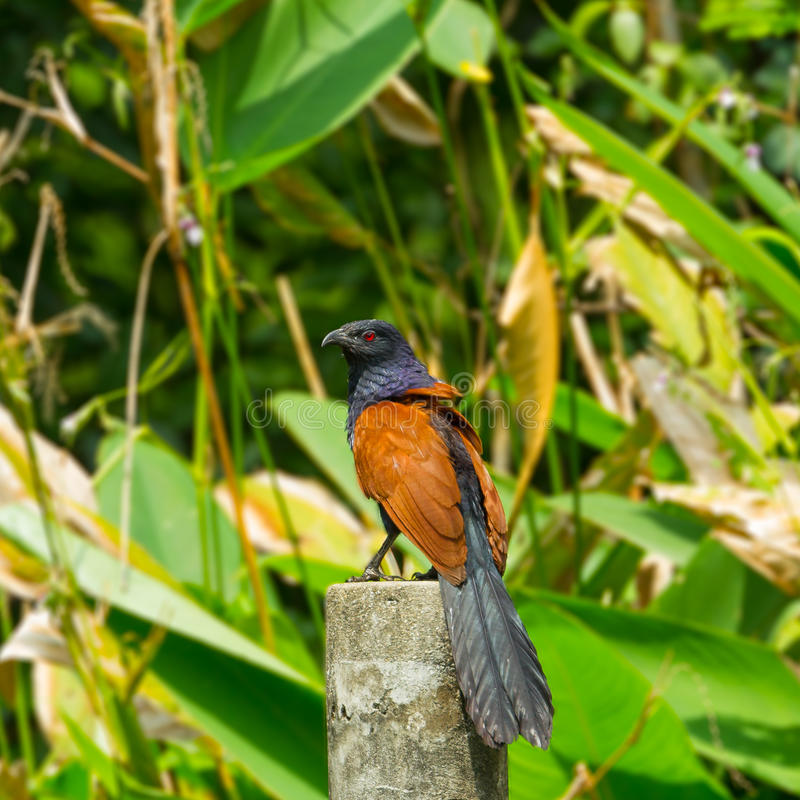 Plus grand coucal photographie stock