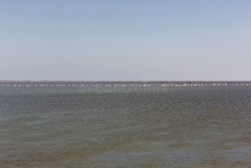 Plus grand et Lesser Flamingos dans les casseroles de Makgadikgadi dans Botswan images stock