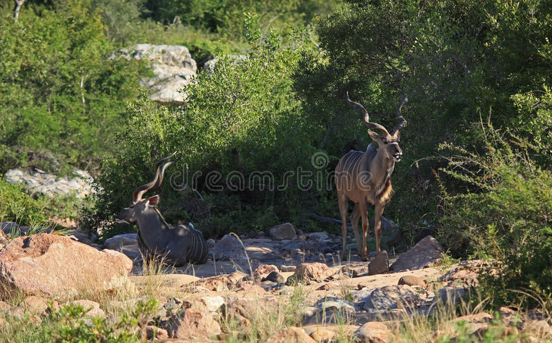 Greter Kudu en parc national de Kruger photos libres de droits