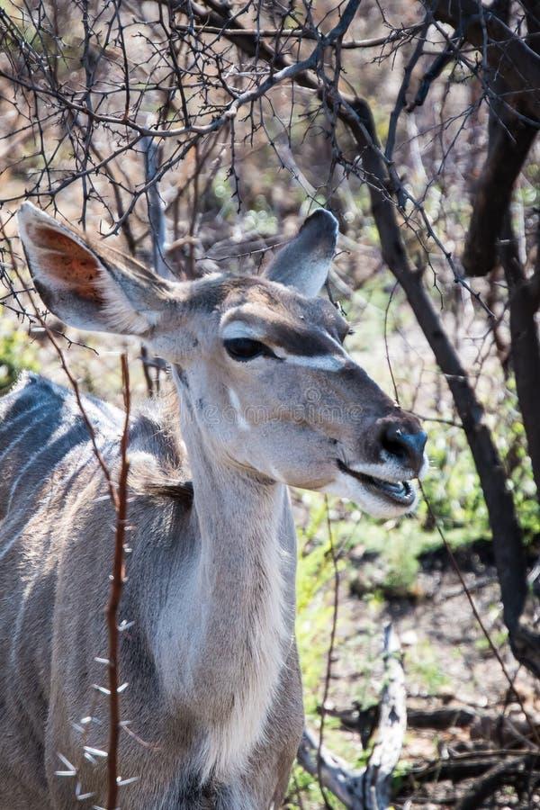 Plus grand kudu femelle avec beaucoup plus de mots images stock