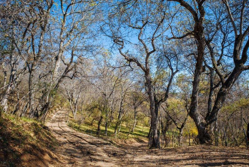 Plus grande forêt naturelle de la noix du monde, nichée dans une vallée luxuriante des mensonges de gamme de montagne de Chatkal  image libre de droits
