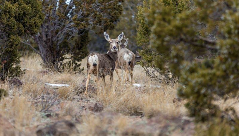 Plusieurs cerfs communs de mule photo stock