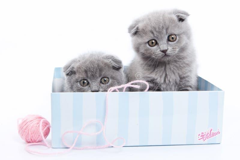 Plusieurs chatons écossais gris de pli photographie stock
