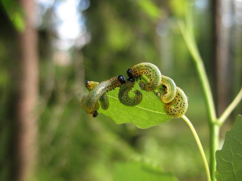 Plusieurs chenilles mangent une feuille d'un arbre dans le jardin Agriculture photographie stock libre de droits