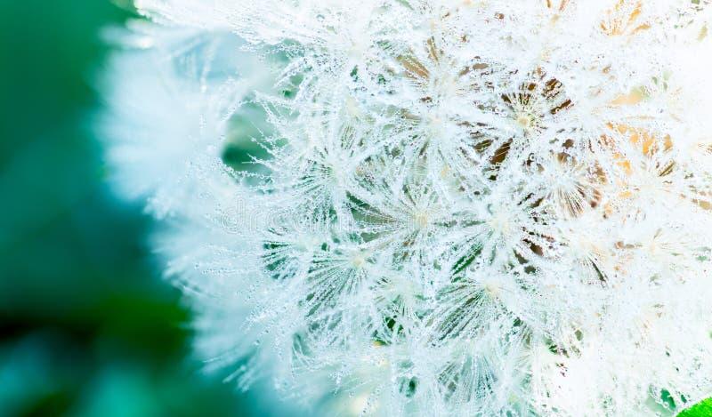 Plusieurs de baisses de ros?e sur le pissenlit pendant le matin du printemps Belles baisses de l'eau sur la fleur blanche Macro d images libres de droits