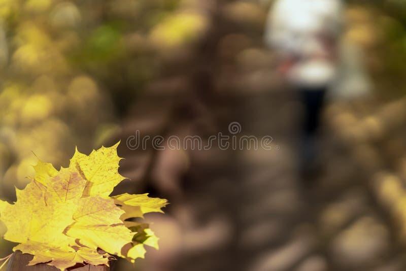 Plusieurs de l'érable tombé jaune laisse le jour en gros plan et ensoleillé, fond naturel d'automne Foyer sélectif photos libres de droits