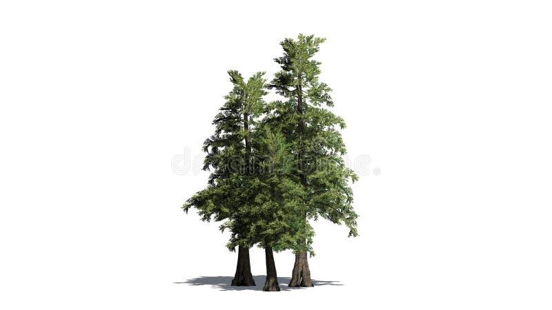 Plusieurs divers arbres de cèdre de rouge occidental illustration libre de droits