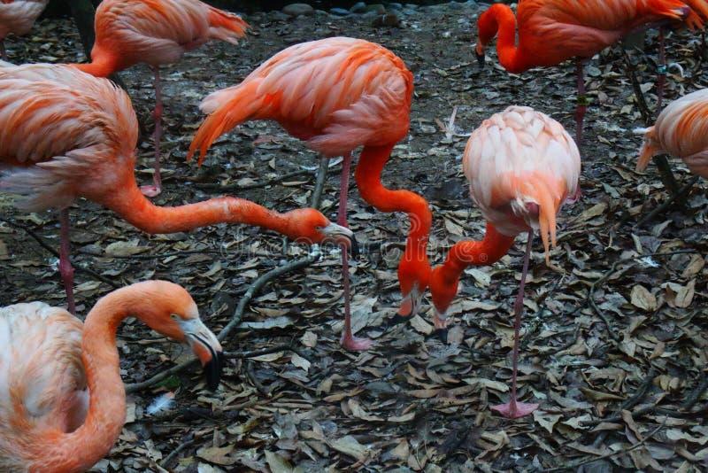 Plusieurs Flamingos1 images libres de droits