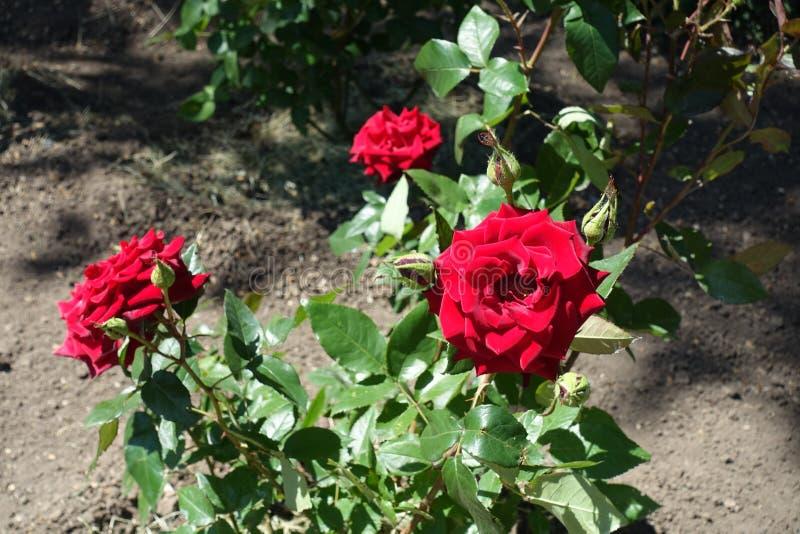 Plusieurs fleurs rouges de rose dans le jardin photo stock