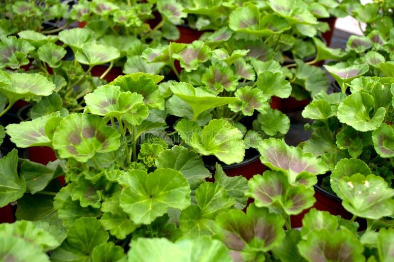 Plusieurs Muscat vert, ` latin de pélargonium de ` de nom image libre de droits