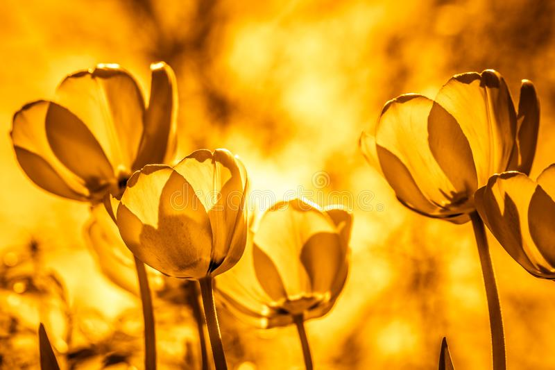 Plusieurs tulipes se développent dans le jardin Image d'or modifiée la tonalité de couleur image libre de droits