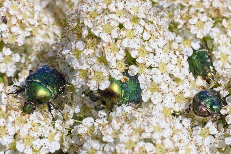 Download Pluskwy Jedzą Białych Kwiaty Zdjęcie Stock - Obraz złożonej z dziki, płatek: 28950140