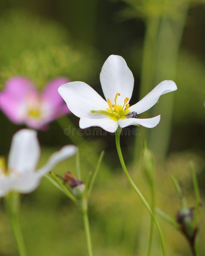 Pluskwy Sabatia Odpoczynkowy Biały kwiat obraz stock