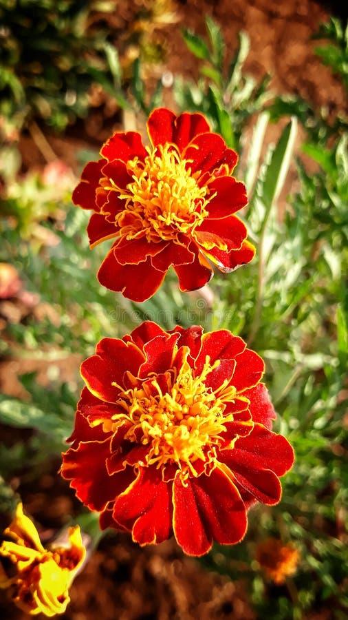 Pluszowy kwiat obraz royalty free