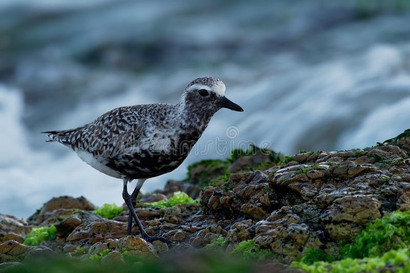 Pluvialis squatarola - Grey Plover on the seaside royalty free stock photography