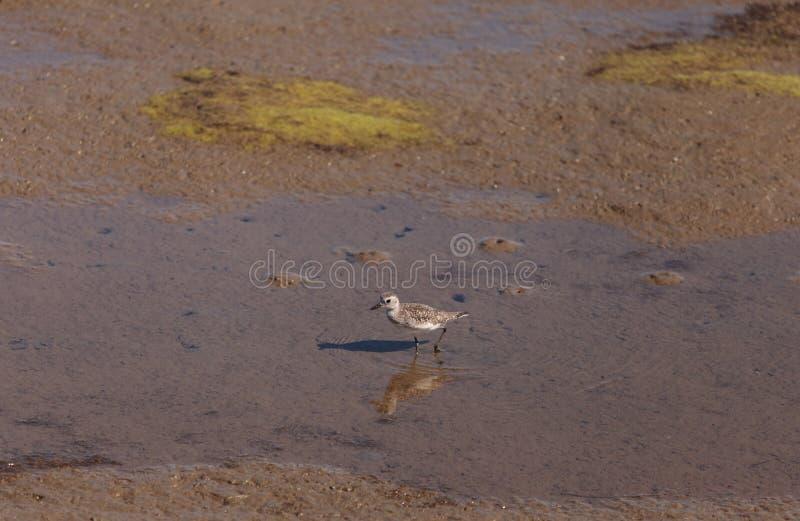 Pluvier de Milou, nivosus de Charadrius photographie stock libre de droits