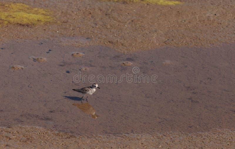 Pluvier de Milou, nivosus de Charadrius photos libres de droits