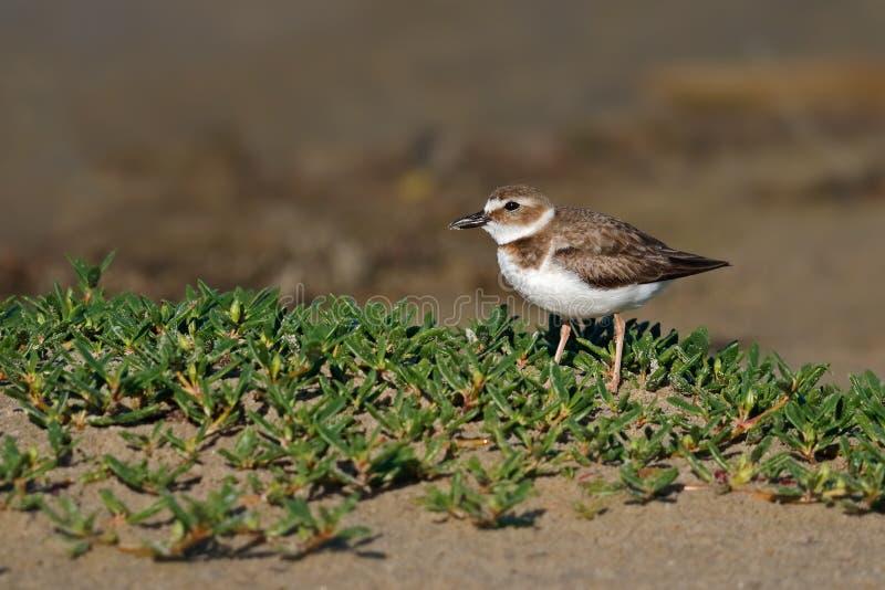 Pluvier du ` s de Wilson se tenant en végétation de plage photographie stock libre de droits
