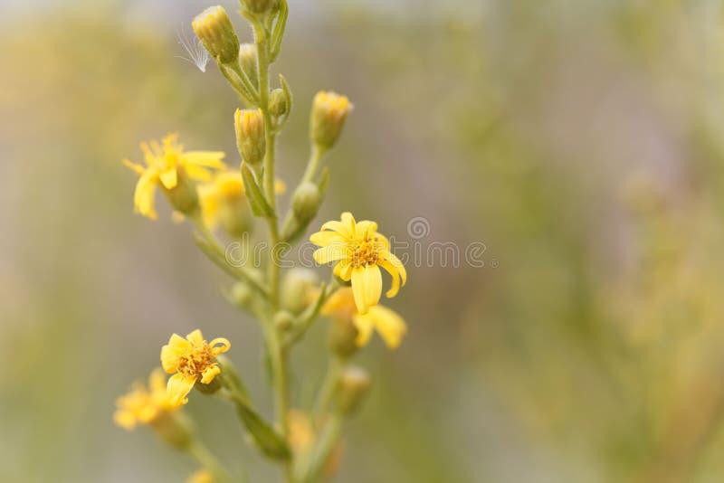 Pnący groundsel Senecio angulatus zdjęcie stock