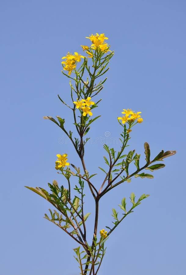 Pnący yellowcress (Rorippa sylvestris) obraz stock