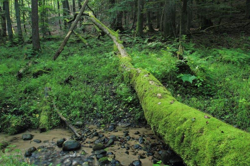 Pnia drzewna, łamana i pokryta mchem zdjęcie royalty free