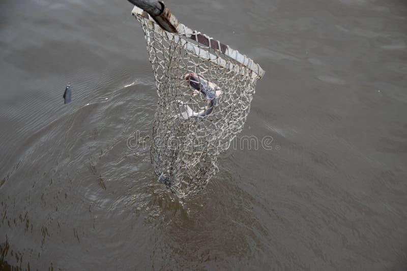 Połowu Pati ryba fotografia royalty free