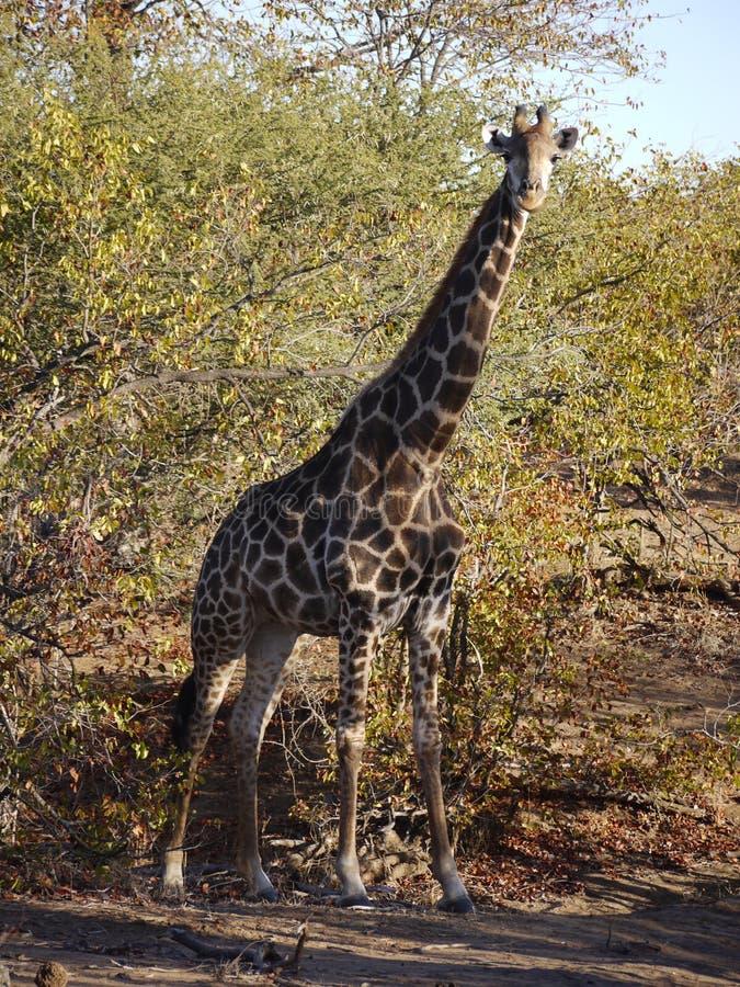 Południe - afrykańska żyrafa obrazy stock