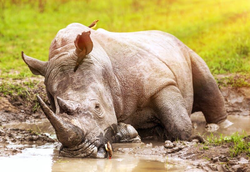 Południe - afrykańska dzika nosorożec zdjęcia royalty free
