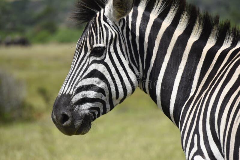 Południe - afrykańska zebra, Kragga Kamma gry rezerwa fotografia stock