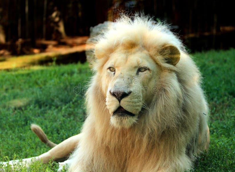 Południe - afrykański lwa Panthera Leo krugeri relaksuje w łące przy zoo zdjęcie royalty free