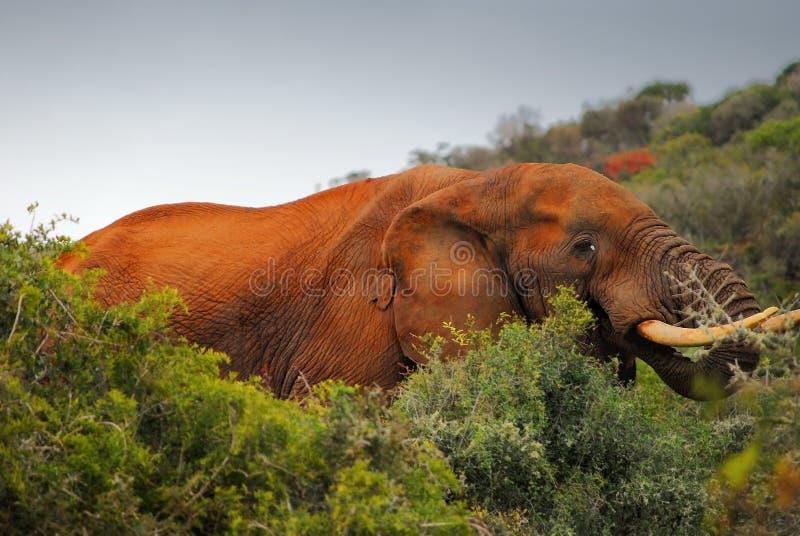 Południe - afrykański słoń w naturalnych warunkach zdjęcia royalty free