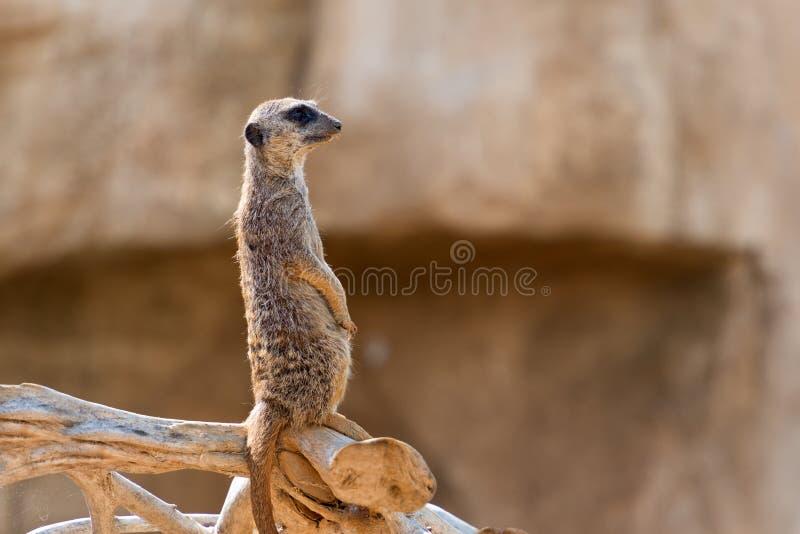 południe - afrykański suricata suricatta obrazy stock