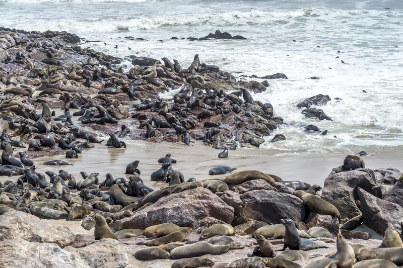 Południe - afrykańskie Futerkowe foki zdjęcia stock
