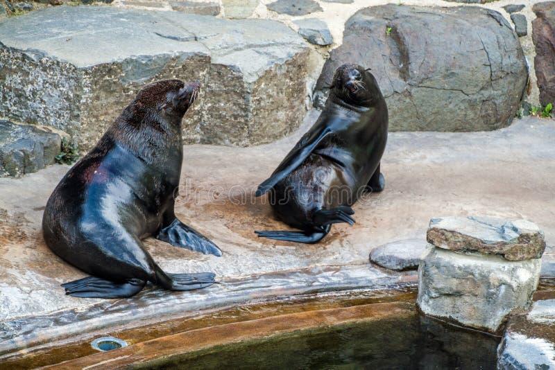 Południe - afrykańskie Futerkowe foki zdjęcie royalty free
