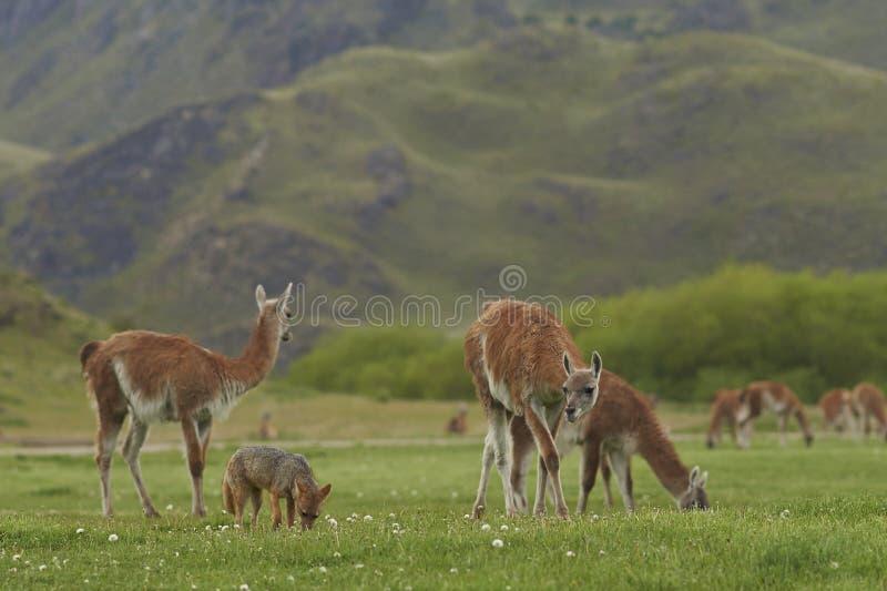 Południe - amerykański Popielaty Fox wśród guanaki Patagonia, Chile zdjęcia stock