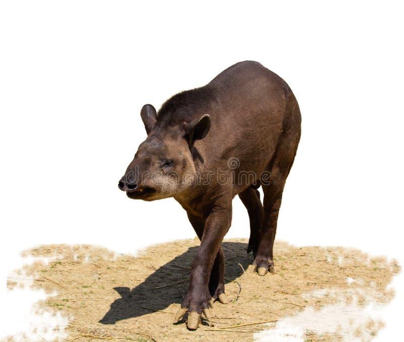 Południe - amerykański tapir odizolowywający na białym tle obraz royalty free