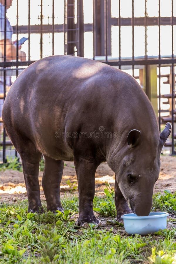 Południe - amerykańskiego tapira Brazylijski tapir, Amazonian tapira łasowania jedzenie Śliczni i śmieszni zwierzęta świat obrazy royalty free