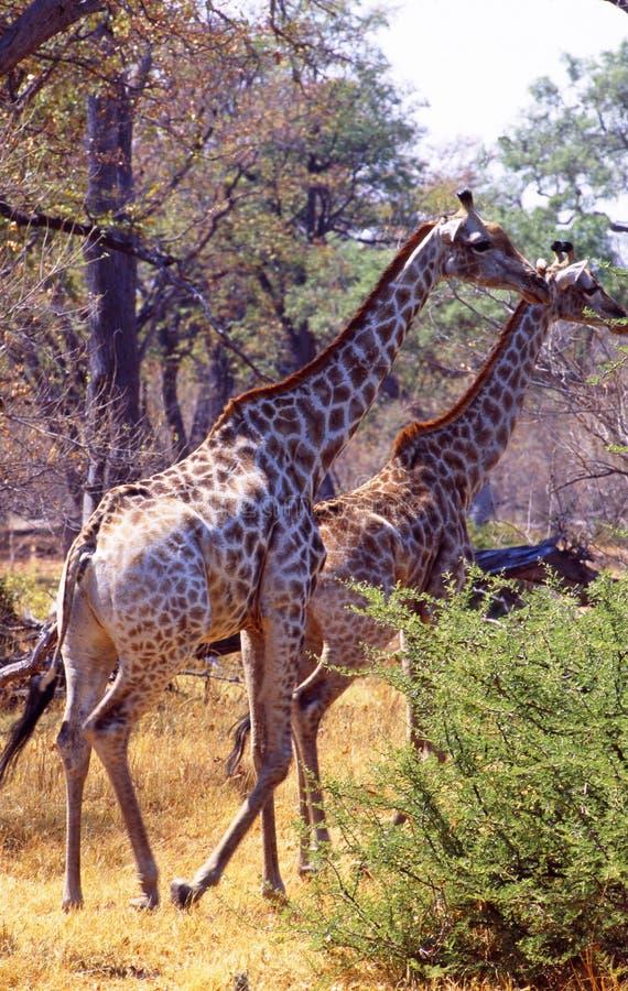 Południowa Afryka: Girafs odprowadzenie przez gęstego krzaka w Shamwari gry rezerwie zdjęcie stock