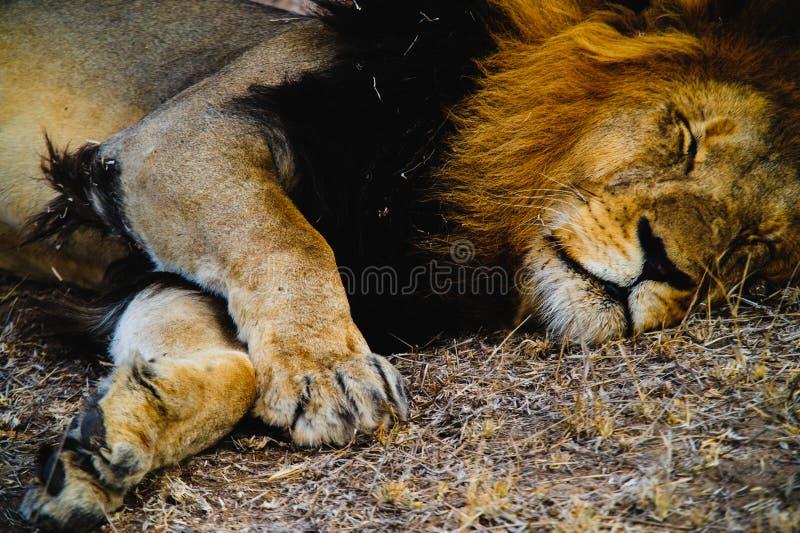 Południowa Afryka lwa zbliżenie zdjęcia royalty free