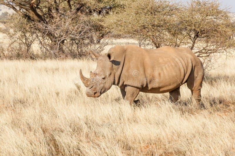 Południowa Biała nosorożec zdjęcie stock