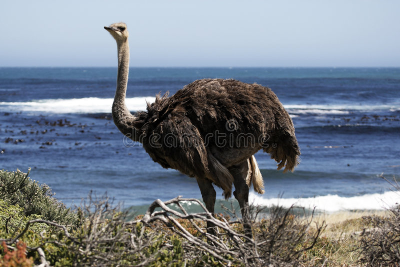 południowa strusi struthio camelus obrazy stock