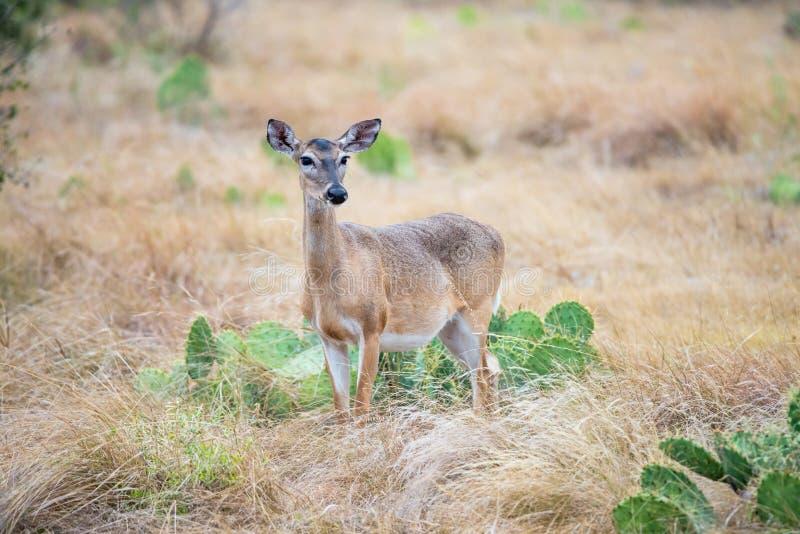 Południowa Teksas królica obraz stock
