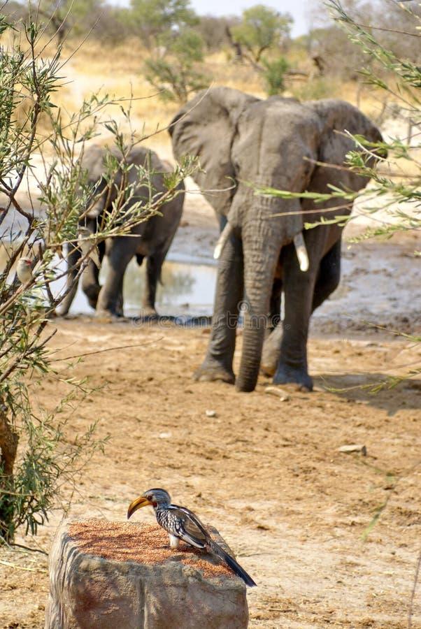 Południowa wystawiająca rachunek dzioborożec i słonie obraz royalty free