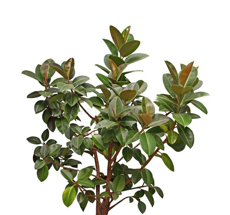 Południowej magnolii drzewo zdjęcie stock